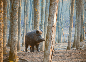 Wild Boar In Forest ©Canva